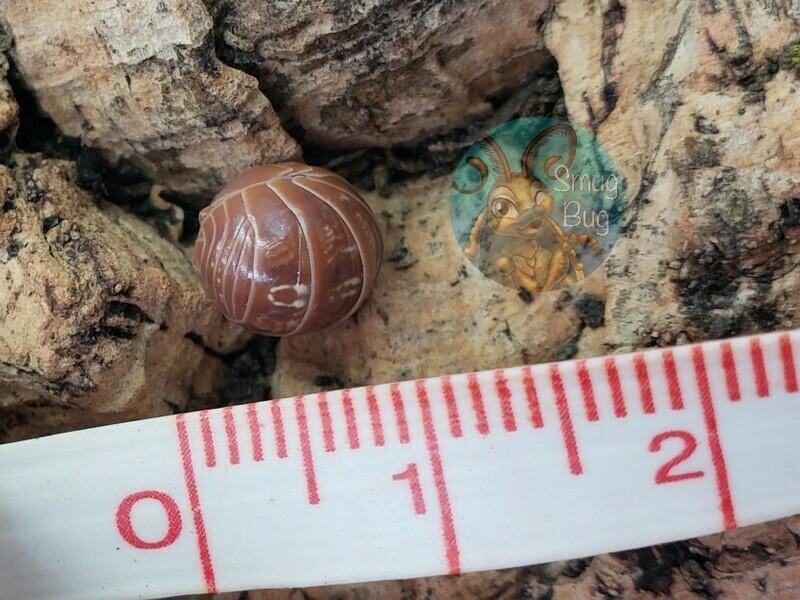 """Armadillidium vulgare """"Punta cana"""""""