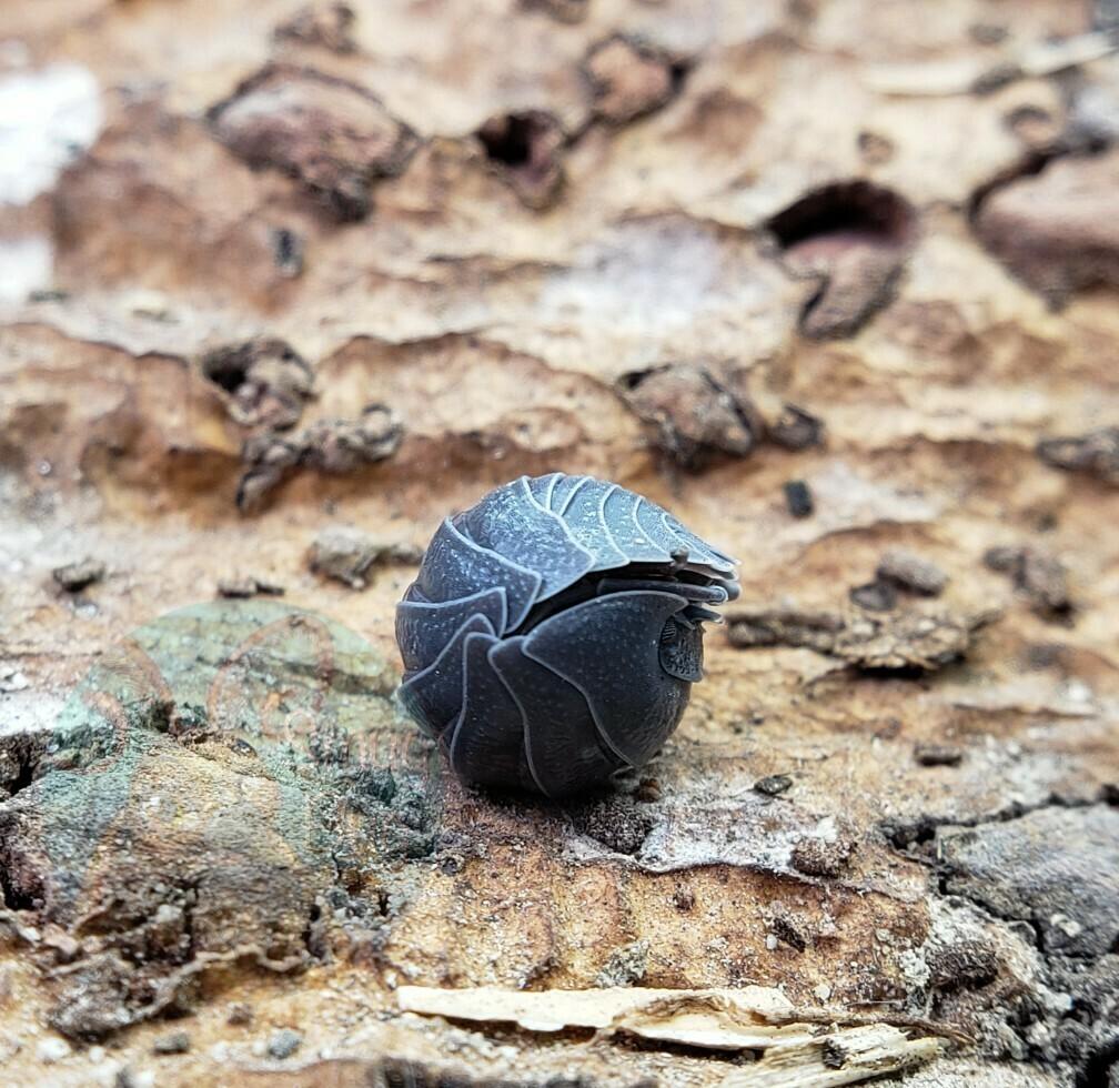 Armadillidium c.f. frontisotre
