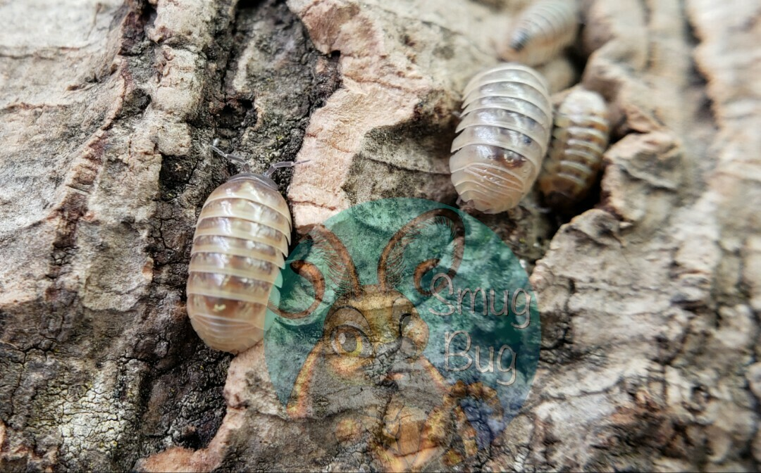 "Armadillidium vulgare ""high yellow"""