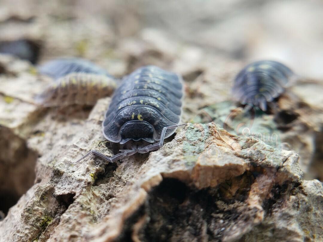 Porcellio spinipennis