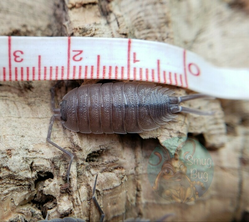 Porcellio sp.
