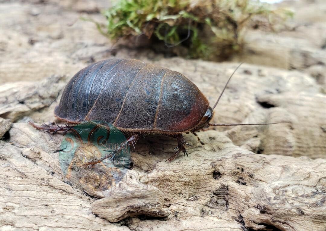 "Eupolyphaga sinesis ""Chinese medicinal roach"""