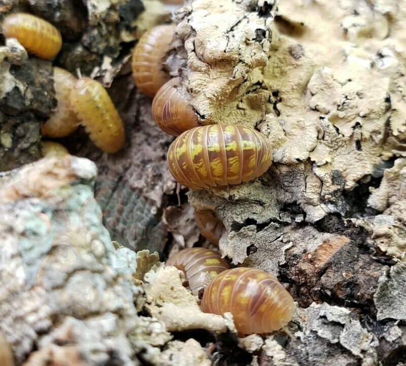 """Armadillidium vulgare """"T+ albino"""""""