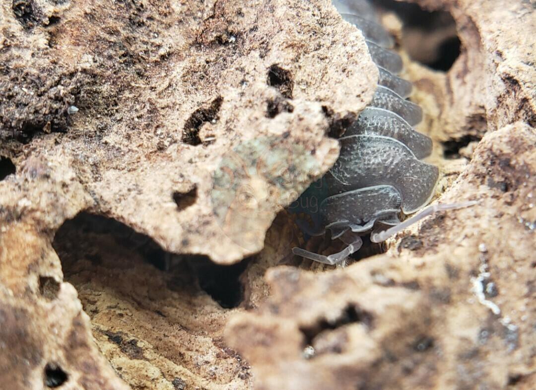 Armadillidium insulare