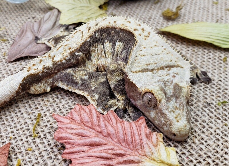 RTB male Crested Gecko - Red harlequin