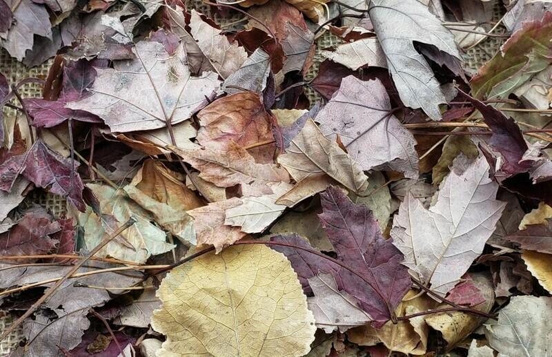 Maple & Linden leaf litter mix