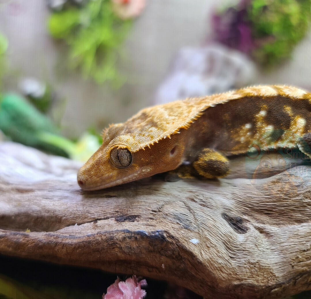 Toblerone - male dark base harlequin crested gecko