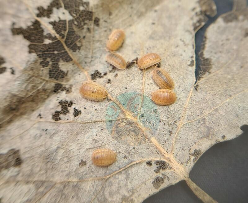 """Agabiformius lentus """"Persimmon"""""""