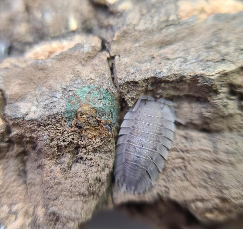 Porcellio spatulatus