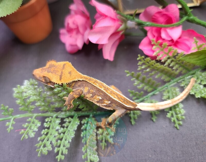 20STW3 Full pin harlequin crested gecko