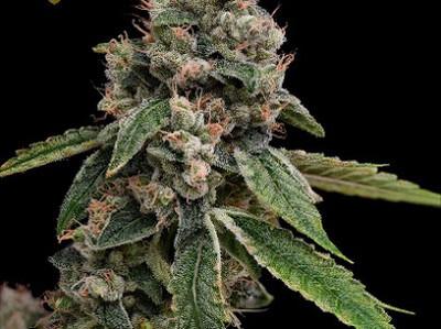 Green Bodhi Genetics Kosher Kush X Sour 78
