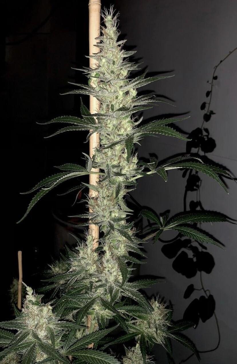 Mountain Organics Cosmic Lotus F2