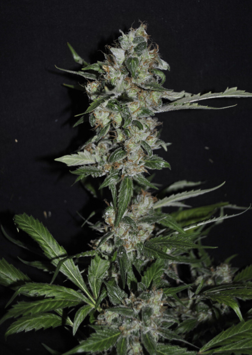 Resin Seeds Yummy Wholesale