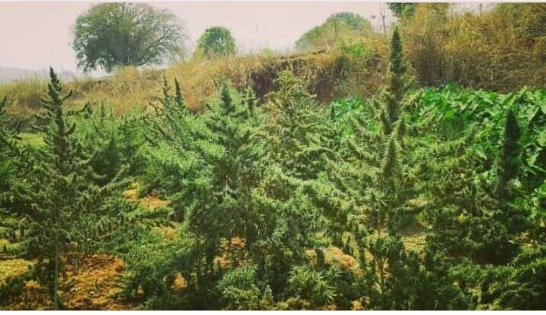 Indian Landrace Exchange Andhra Bhang Selection