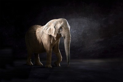 Elephas Africana - The Endangered Series, Elephant