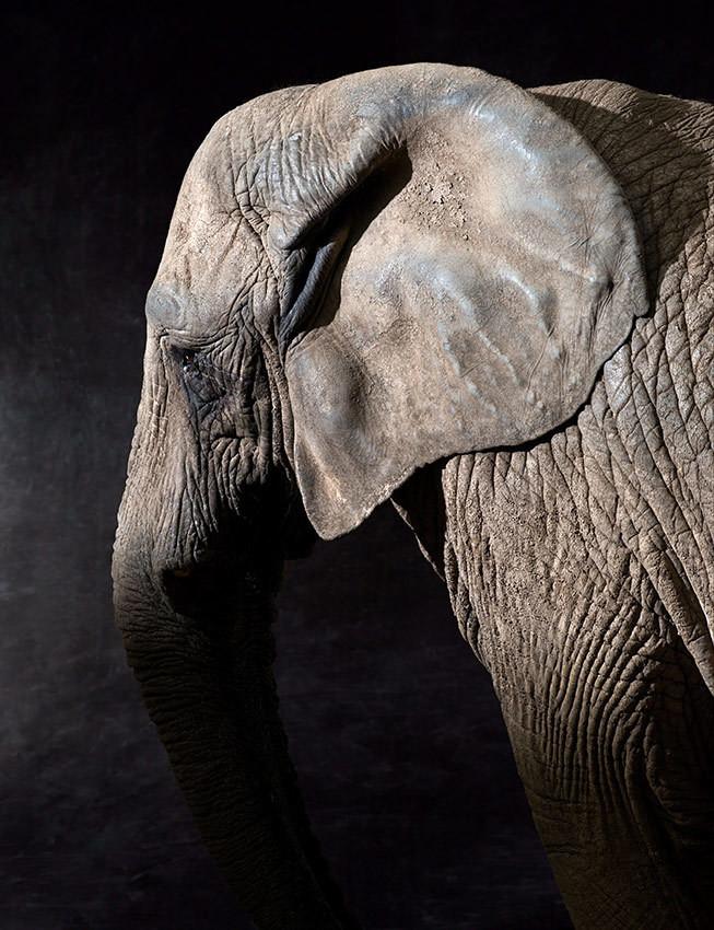 Elephas - The Endangered Series, Elephant