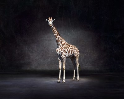 Zulu - Giraffe The Endangered Series