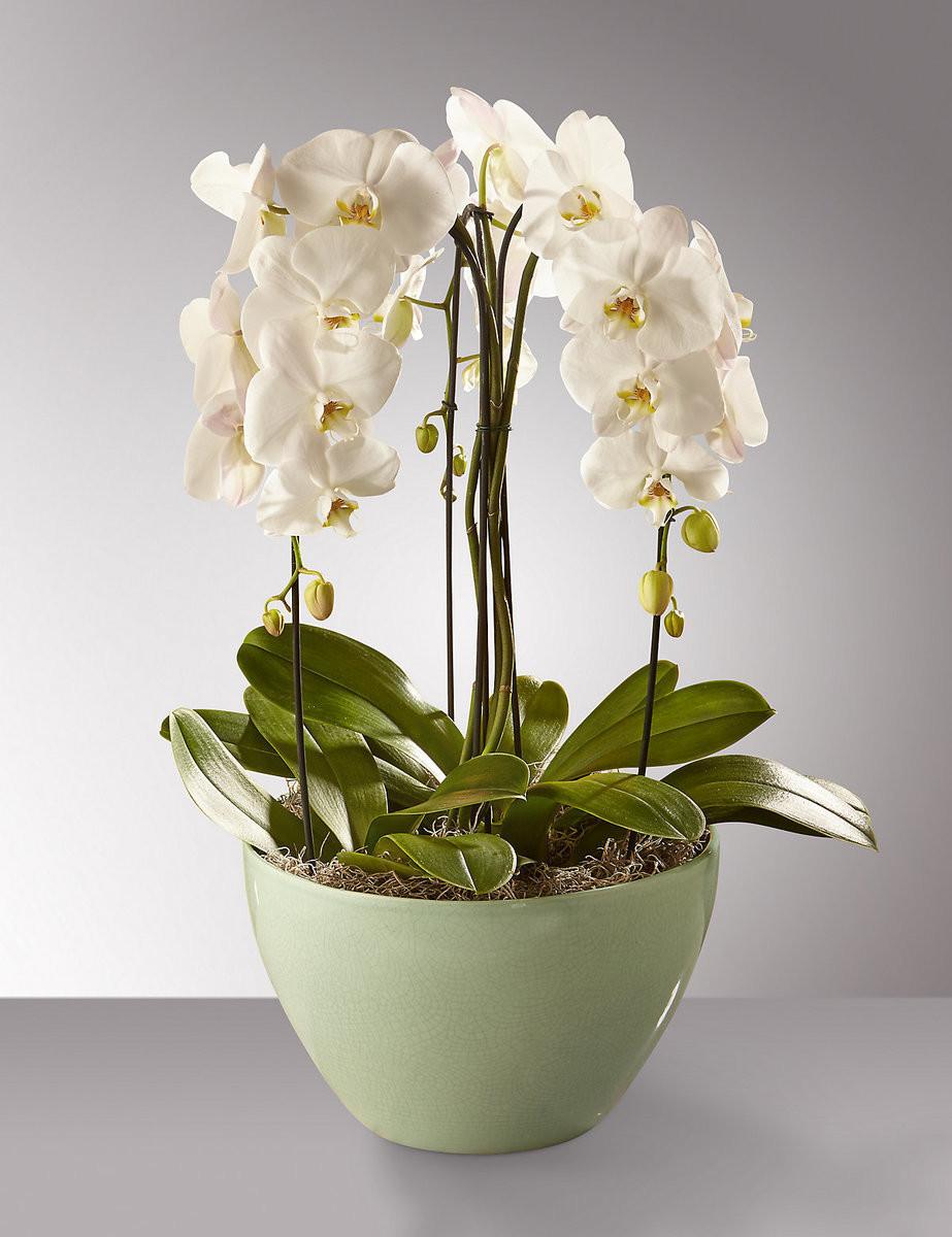 Phalaenopsis umbrella