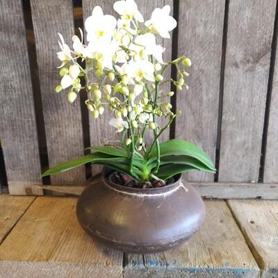 Wild Orchid In Dhurri Urn
