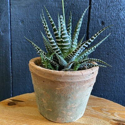 Hawthornia in Vintage Terracotta Pot