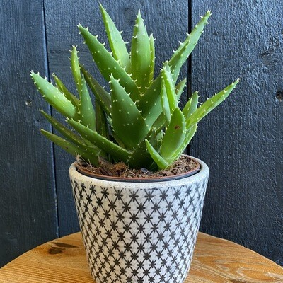 Aloe In Geometric Dutch Pot