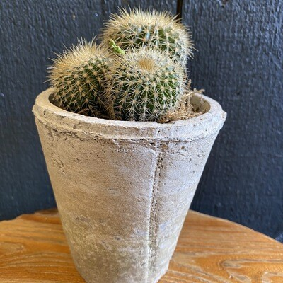 Cactus In Whitestone Pot
