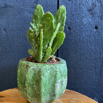 Fairy Castle Cactus In Botanical Pot