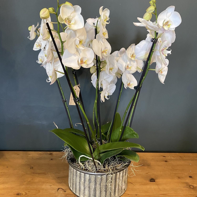 Phalenopsis Orchid Arrangement