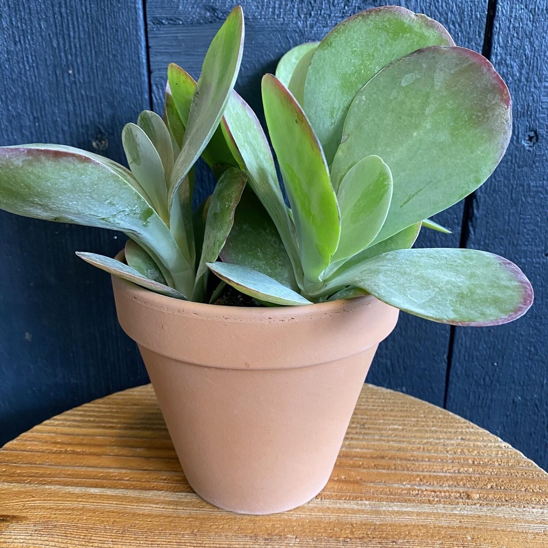 Kalanchoe Thyrsiflora In Terracotta Pot