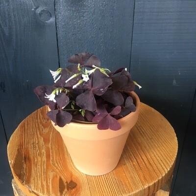 Oxalis In Terracotta Pot