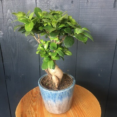 Ficus Ginseng In Dutch Pot