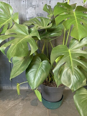 Monstera - Cheese Plant