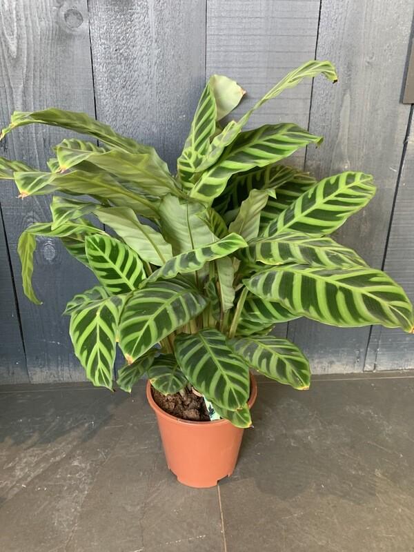 Calethea Zebrina - Zebra Plant