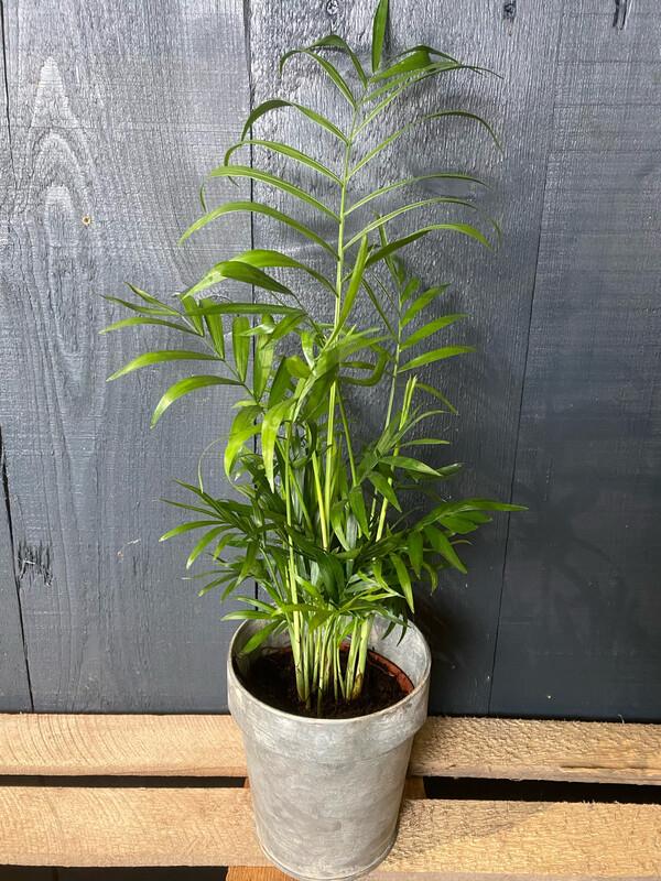 Chamaedorea - Parlour Palm
