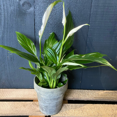 Spathiphyllum Pearl Cupido - Peace Lily