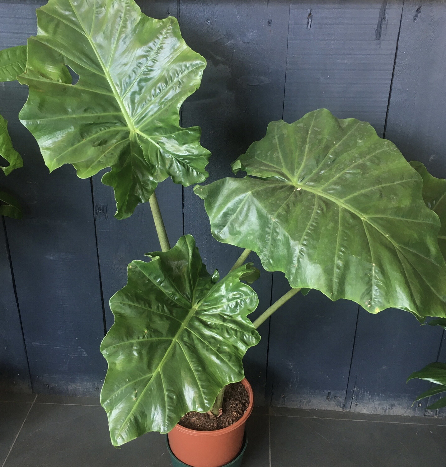 Alocasia Portodora - Upright Elephant Ear