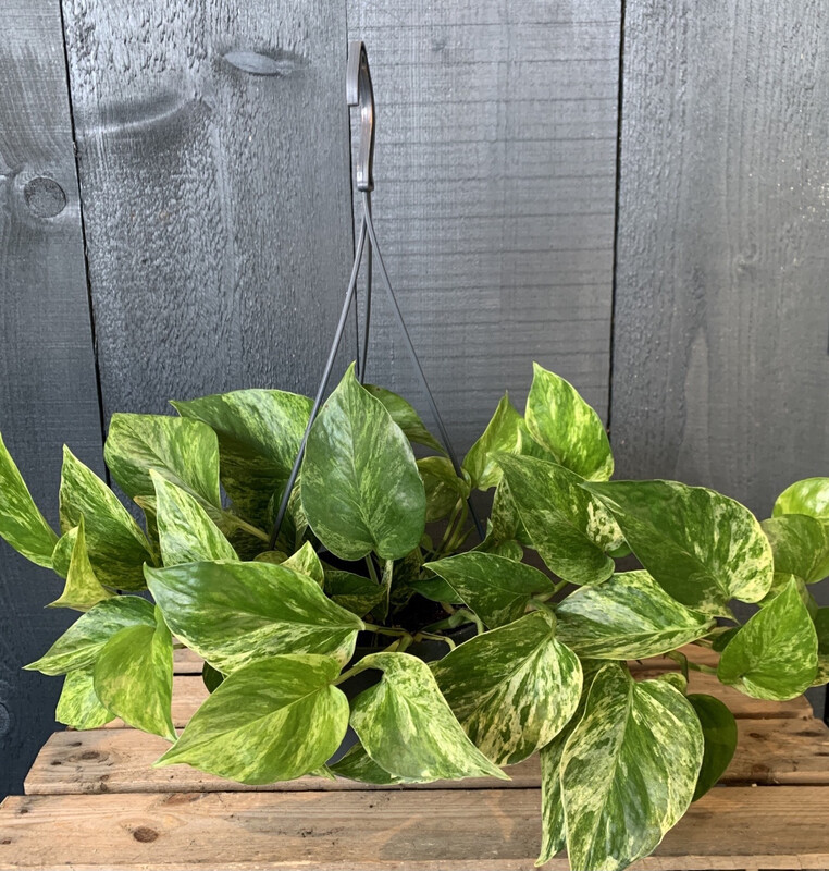 Philodendron Scandens - Heart Leaf Plant in Hanging Pot