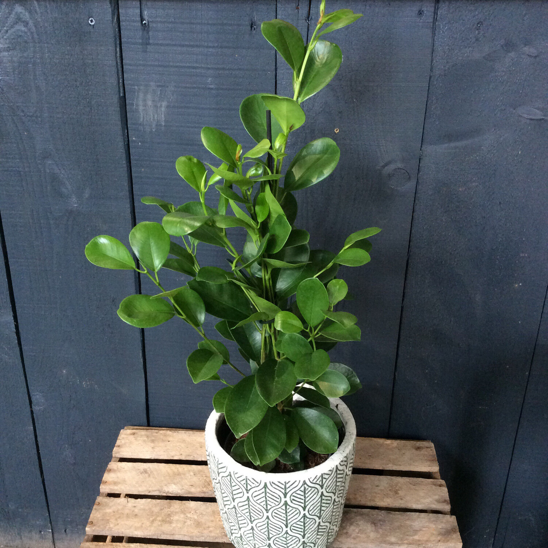 Ficus Moclame - Laurel Fig