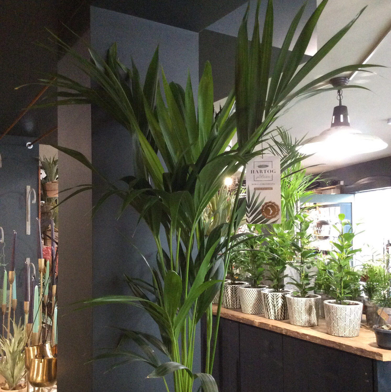 Howea Forsteriana Palm
