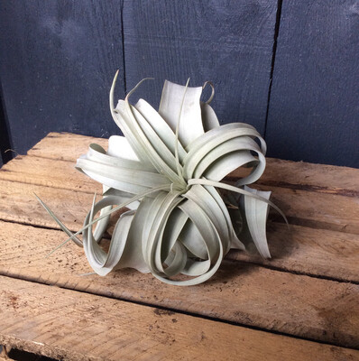 King Of Air Plants