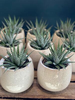 Haworthiopsis Fasciata - Zebra Cactus
