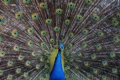 Peacock Picture Print with Frame
