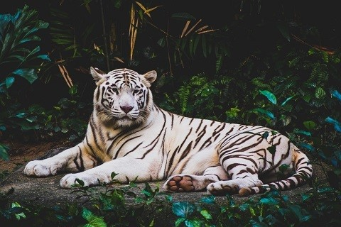 White Tiger Picture Print with Frame