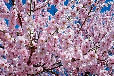 Cherry Flowers Photo Frame