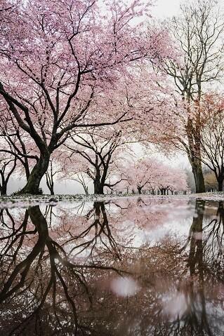 Cherry Trees Photo Frame