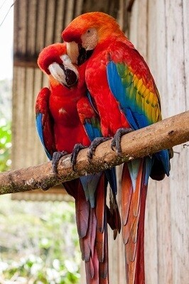 Red Parrots Picture Print with Frame