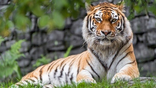 Tiger Picture Print with Frame