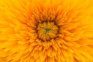 Yellow Flower Picture Print with Frame
