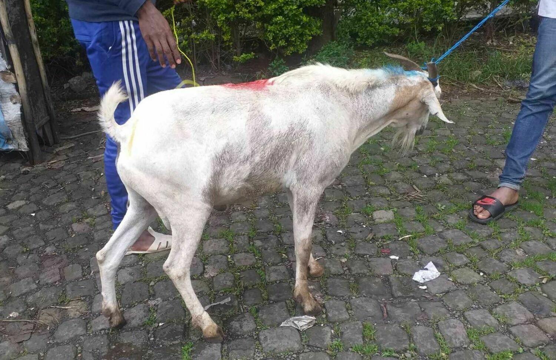 ፍየል Goat (Ethiopia Only)