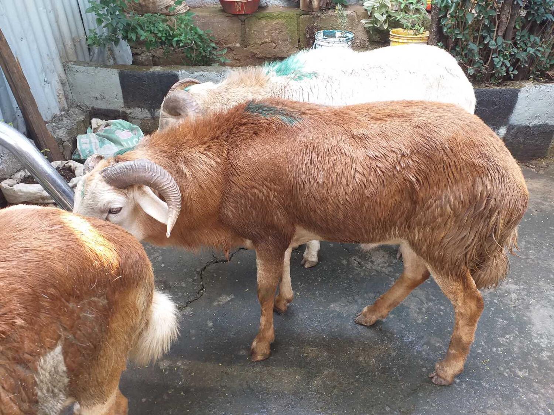 በግ Sheep Beg Lamb (Ethiopia Only)